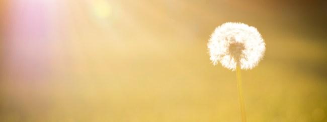 Dandelion-960x360